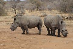 Dwa nosorożec z rżniętymi rogami ochraniać przeciw kłusowaniu obraz royalty free