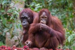 Dwa orangutan z z zadowoleniem je obiad bliźniarka na tle gr Obraz Stock