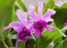 Dwa Orchidei Obrazy Royalty Free