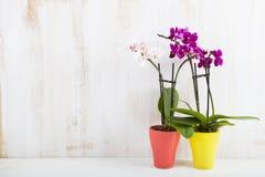 Dwa orchidei w garnkach Zdjęcia Royalty Free