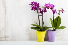 Dwa orchidei w garnkach Zdjęcie Stock