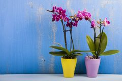 Dwa orchidei w garnkach Fotografia Stock