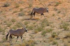 Dwa Oryx Gemsbok fotografujący w Kgalagadi Transfrontier parku narodowym między Południowa Afryka, Namibia i Botswana, Zdjęcie Royalty Free