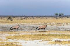 Dwa oryx lub gemsbok, antylopy biega w sawannie Etosha park narodowy Zdjęcia Stock