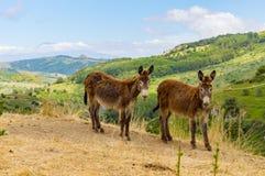 Dwa osła na kopu w łące w górach Zdjęcie Stock