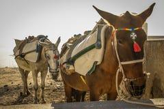 Dwa osła na wyspie Santorini Grecja obrazy stock