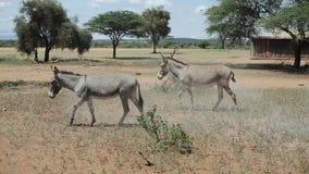 Dwa osła pasa na polu w Afryka w pogodnym letnim dniu, je trawy zbiory