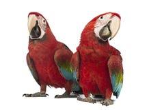 Dwa Oskrzydlona ara, aronu chloropterus, (1) roczniak Zdjęcia Royalty Free