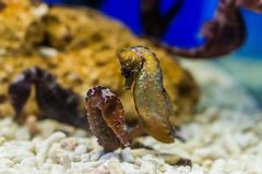 Dwa północnego seahorses wpólnie, tropikalni akwariów zwierzęta domowe od atlantyckiego oceanu, podatny zwierzęcy specie fotografia royalty free