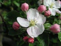 Dwa pączka jabłczany biały kwiat i kwiaty kwitnęli Zdjęcia Royalty Free