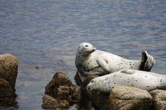 Dwa Pacyficznej schronienie foki Wygrzewa się Na skałach Zdjęcie Royalty Free