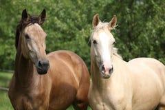 Dwa palomino koni biegać zdjęcia royalty free