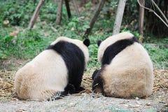 dwa pandy Zdjęcia Royalty Free