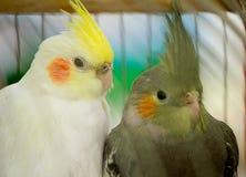 Dwa papuga w klatce. Obraz Stock