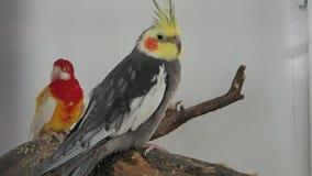 Dwa papugi na gałąź zbiory