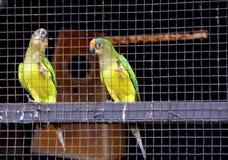 Dwa papugi w klatce zdjęcie stock