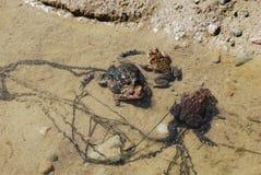Dwa pary kotelni żaby w płytkiej wodzie Fotografia Stock
