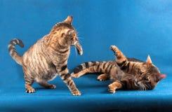 Dwa paskowali koty bawić się na błękitnym tle, jeden kota kłamstwa Zdjęcia Stock