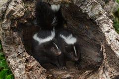 Dwa Paskowali Skunksowego Mephitis mephitis zestawów spojrzenie Out z wewnątrz Zdjęcia Stock