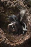 Dwa Paskowali Skunksowego Mephitis mephitis zestawów zerknięcie Z beli Fotografia Royalty Free