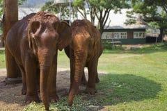 Dwa, Pełnego ciała Żeńscy Azjatyccy słonie Zdjęcie Stock