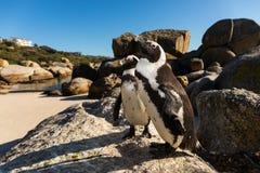 Dwa peguins przy głazami Plażowy Simonstown obrazy royalty free