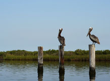 dwa pelikan krajobrazu Obrazy Stock