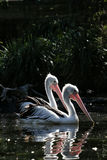 Dwa pelikana Obraz Royalty Free