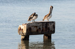 Dwa pelikana Zdjęcia Royalty Free
