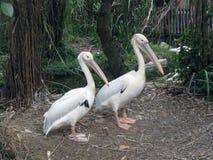 Dwa pelikana Zdjęcie Royalty Free