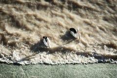 Dwa pelikana czekać na ryba blisko jazu w odludzia Australia strzale od above w późnym popołudniu z rozciąganie cieniami przy jez Zdjęcia Stock