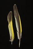 Dwa piórka Greenfinch, Carduelis chloris Obraz Royalty Free