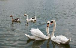 Dwa pięknego białego łabędziego pływackiego szczęśliwy w jeziorze Fotografia Royalty Free