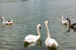 Dwa pięknego białego łabędziego pływackiego szczęśliwy w jeziorze Fotografia Stock