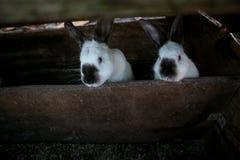 Dwa pięknego białego królika Zdjęcie Stock
