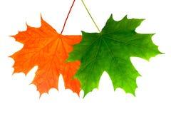 Dwa pięknego liścia klonowego pojedynczy białe tło zdjęcie stock