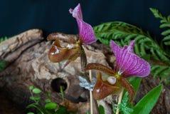 Dwa pięknej orchidei Obraz Royalty Free