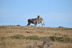 Dwa pięknej zebry na łące w Addo słonia parku w Colchester, Południowa Afryka Zdjęcia Stock