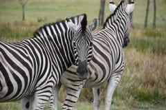 Dwa pięknej zebry na łące w Południowa Afryka Obrazy Royalty Free