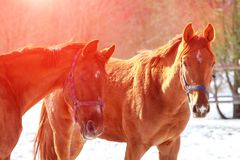 Dwa piękny czerwony koński zakończenie na zmierzchu zdjęcie royalty free
