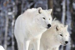Dwa pięknego wilka Zdjęcia Stock