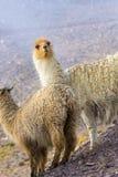Dwa pięknej lamy, Argentyna Fotografia Stock