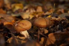 Dwa pieczarki w jesień lesie obraz stock