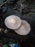 Dwa pieczarki z łaciny imieniem Psathyrella Uliginicola pojawiać się prosperować na drzewnych bagażnikach które są susi i  fotografia stock