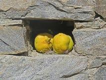 Dwa pigwy owoc Athos półwysep Zdjęcia Royalty Free