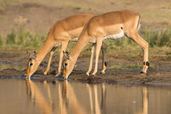 Dwa pije Impala Zdjęcie Stock