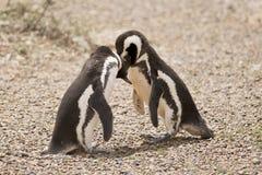 Dwa pingwinu magellanic bawić się Obrazy Royalty Free