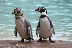 Dwa pingwinu przy pingwin plażą Zdjęcia Royalty Free