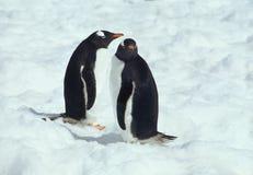 dwa pingwiny, obrazy royalty free