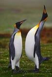 dwa pingwiny Mały i duży ptak Samiec i kobieta pingwin Królewiątko pingwinu para cuddling w dzikiej naturze z zielonym backgroun Obraz Royalty Free